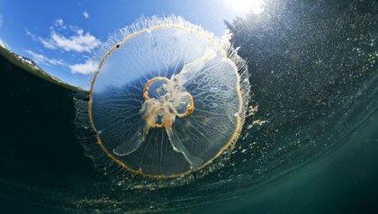 Medusas un peligro de verano