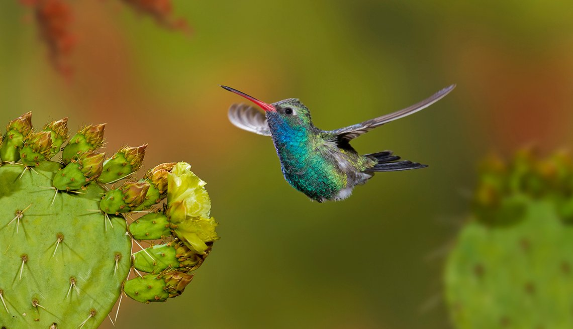 Broad-Billed Hummingbird, Prickly Pear Blossom, Arizona, Great Places to Go This Summer
