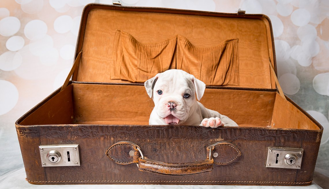 White Puppy in Open Brown Suitcase, Flying Safely With Your Pet