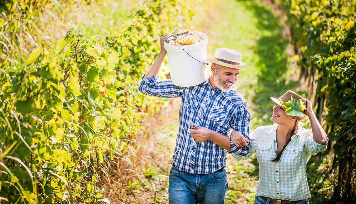 Caucasian Middle Aged Couple Pick Grapes In Vineyard In Lodi California, Travel Picks For 2017