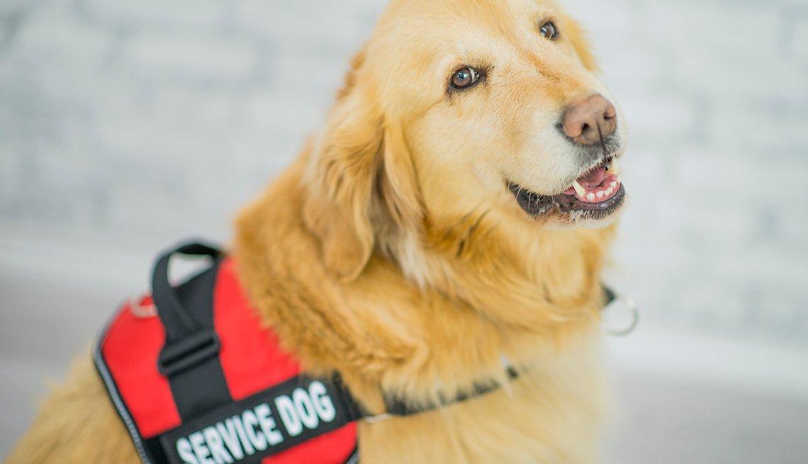 Un perro de servicio golden retriever