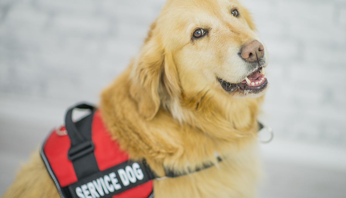 A golden retriever as a service dog