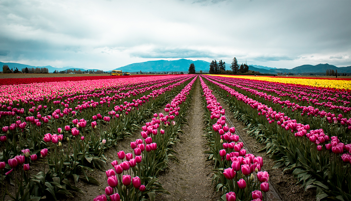 item 1 of Gallery image - Filas de tulipanes rosados, rojos y amarillos