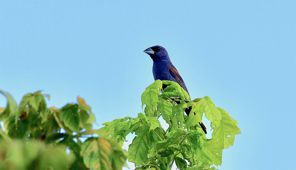 Pájaro Picogrueso o Blue Grosbeak