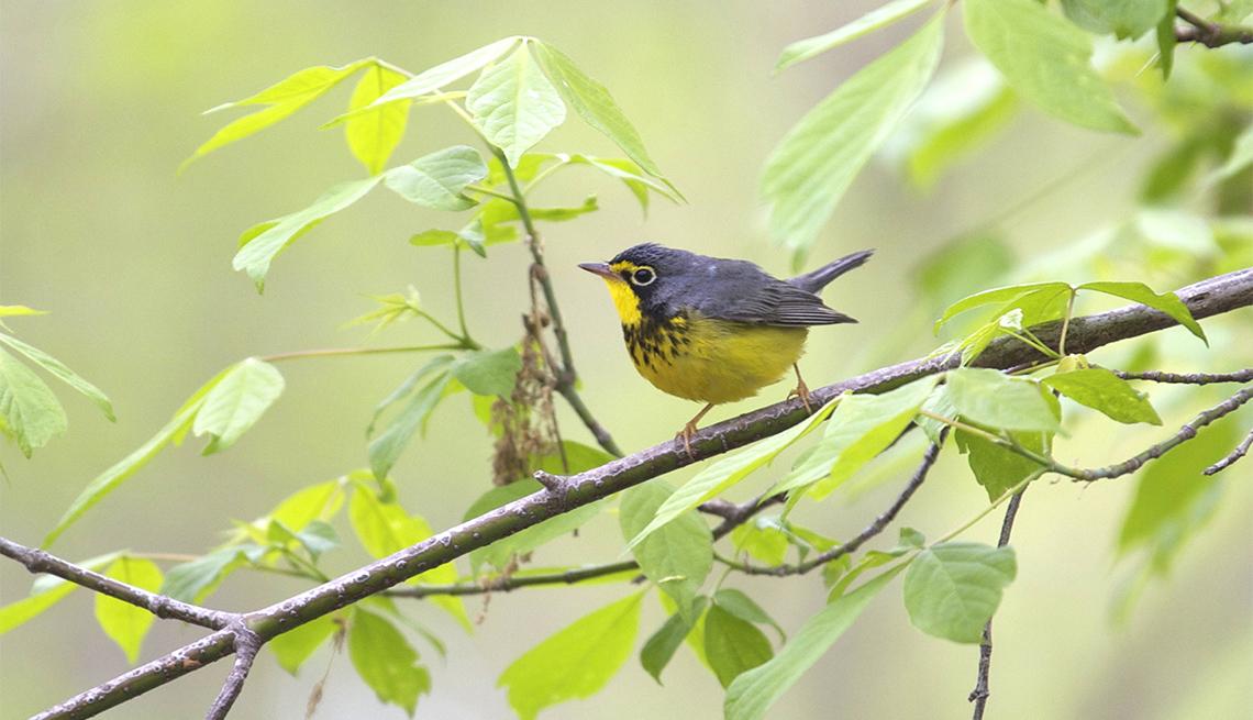 item 4 of Gallery image - Canada Warbler