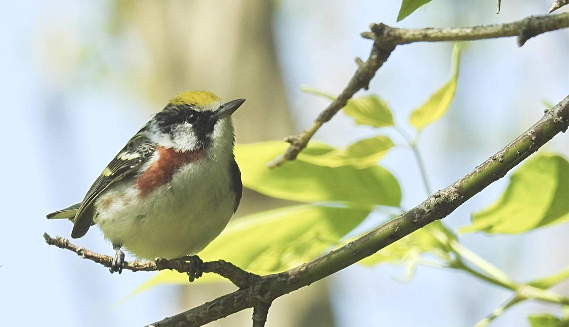 item 5 of Gallery image - Chestnut sided Warbler