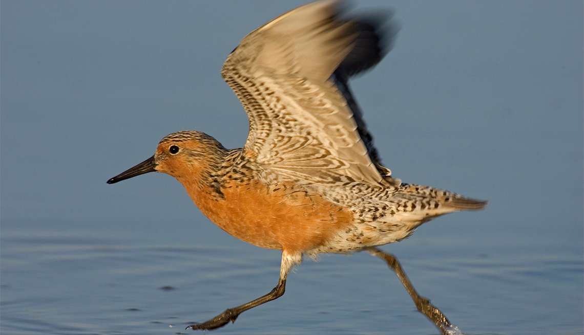 item 3 of Gallery image - Red Knot