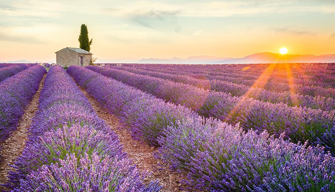 Provence In Lavender Season
