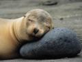 Foca duerme en una roca en la isla de James, del archipiélago de Galápagos, Ecuador - Aventuras de una vez en la vida