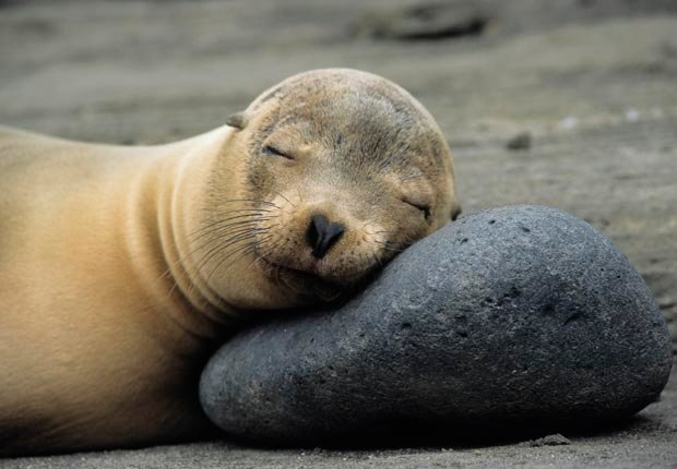 California Sea Lion sleeps on rock on James Island, Galapagos Archipelago Ecuador, Adventure of a Lifetime (Ron Watts/First Light/Corbis)