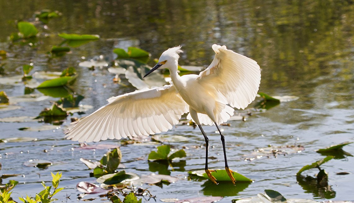 A Snowy Egret Lands In Water In Everglades National Park In Florida, Visit Natural Wonders