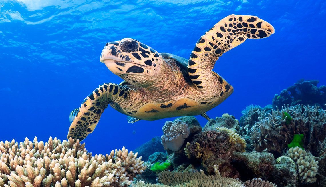 Sea Turtle Swimming In The  Great Barrier Reef, Australia, Visit Natural Wonders