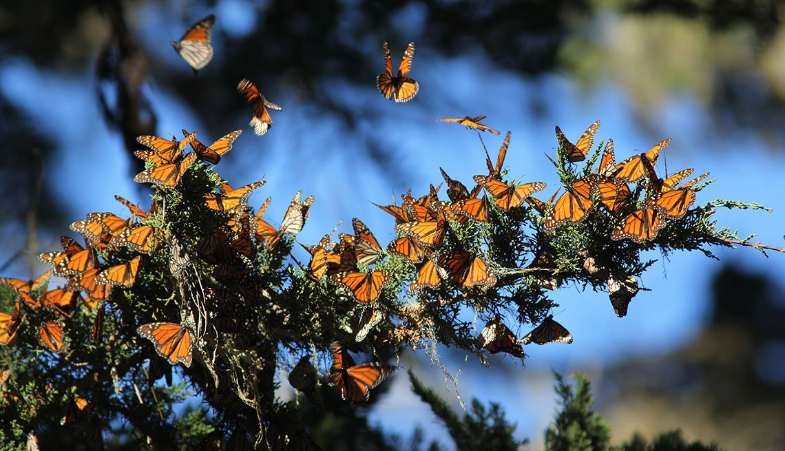 A Bunch Of Migrating Monarch Butterflies Cling To A Branch, Unique Fall Vacation Destinations