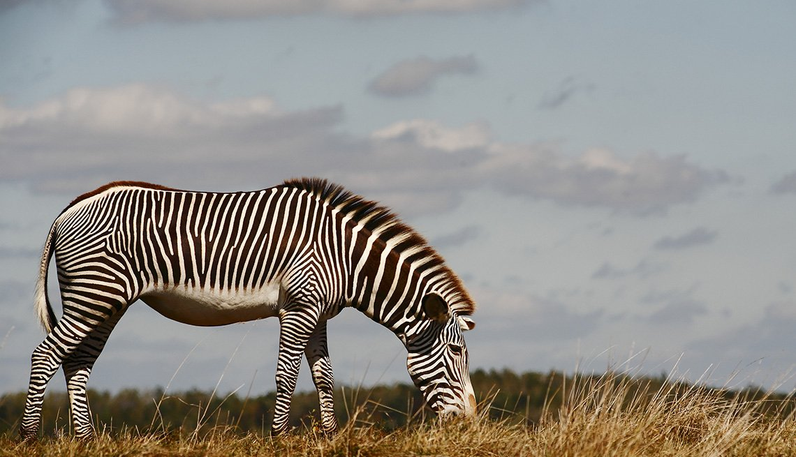 A Zebra Grazes In A Field In An American Safari, Second Honeymoon Destinations