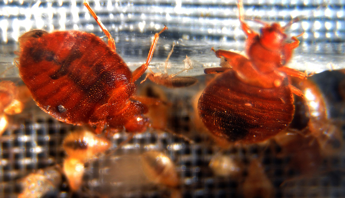 Close Up Of Bed Bugs, Protect Yourself Against Bed Bugs