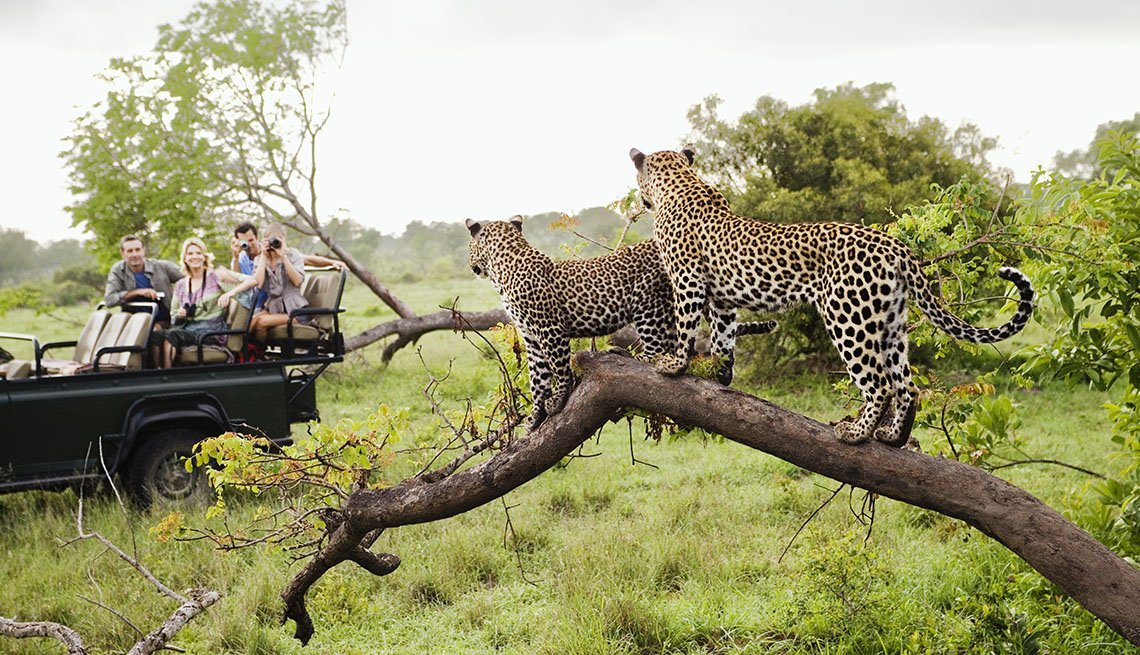 Two Leopards On Tree Watching Tourists In A Safari Jeep, How To Choose A Guide Tour