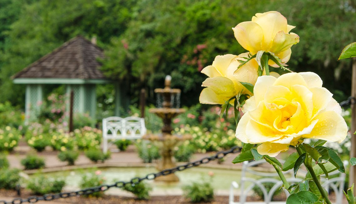 Yellow Roses In Harry P Leu Gardens In Orlando Florida, Affordable Spring Break Vacations