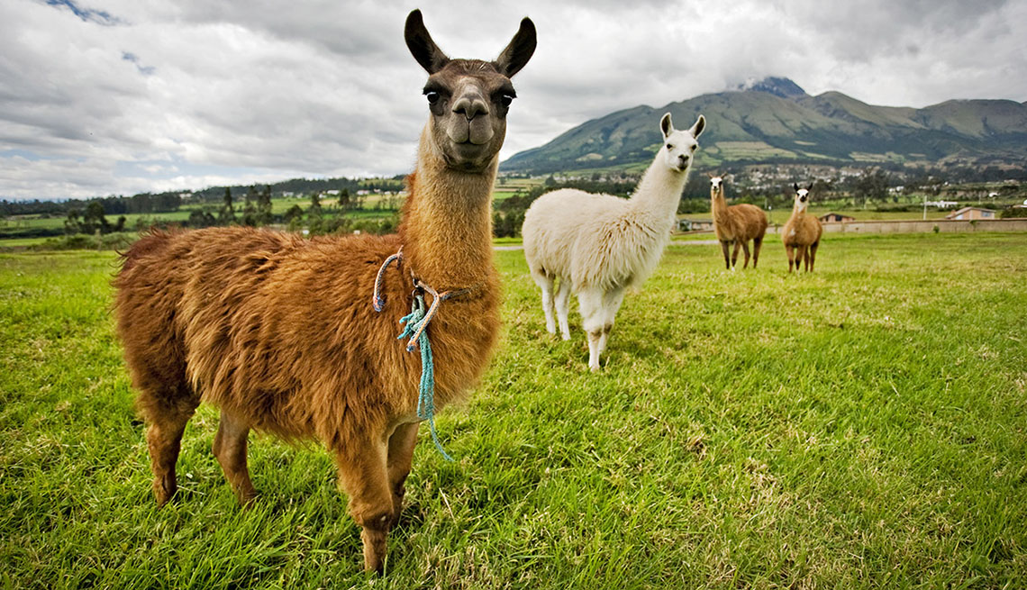 Lllamas Graze In A Field In Quito Ecuador, 10 Summer Destinations