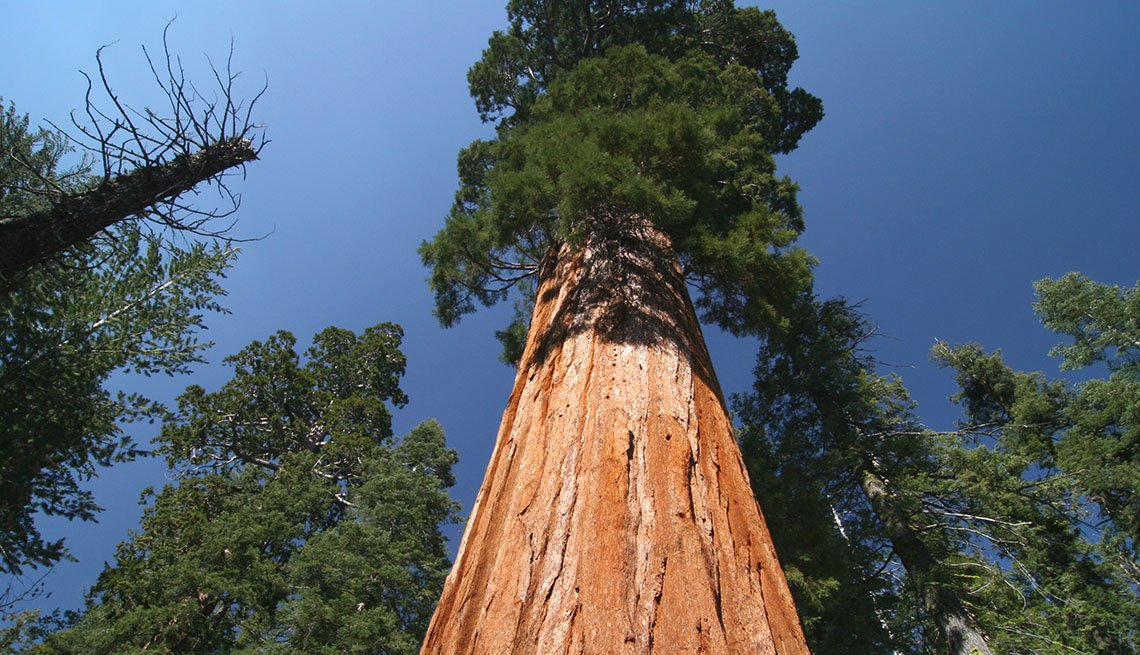 A Tall Sequoia Tree In The Sequoia National Forest In California, Best National Parks