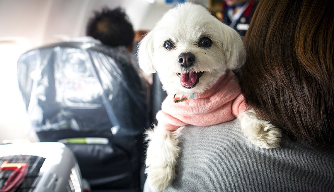 Small dog perched on woman's shoulder while on plane.