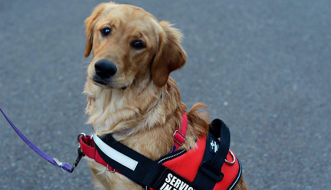 Un perro de servicio lleva su collar