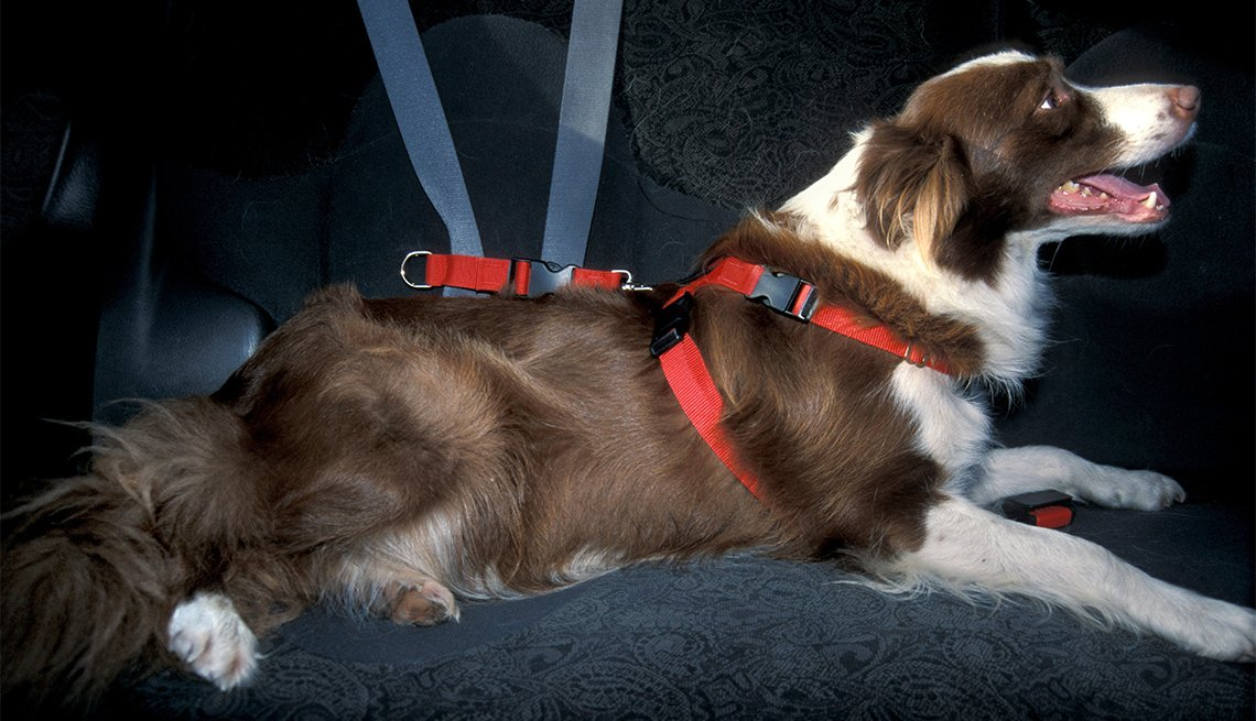 Border Collie Dog in seat harness