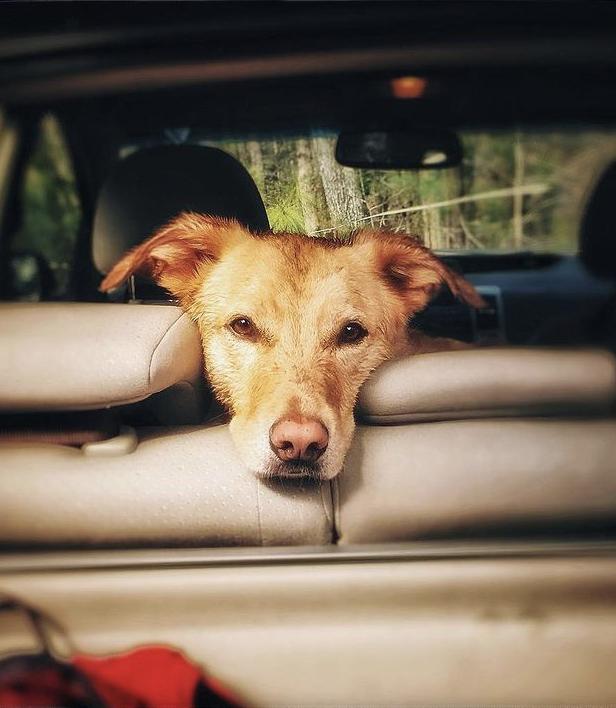 Perro posa su cabeza sobre el respaldar del asiento de un auto