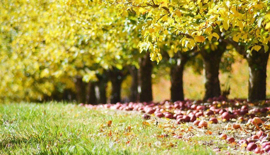 Manzanas en el suelo durante la temporada de otoño.