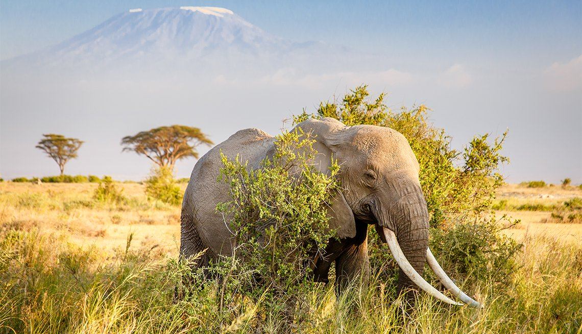 A bull African Bush Elephant with Mount Kilimanjaro in the distance