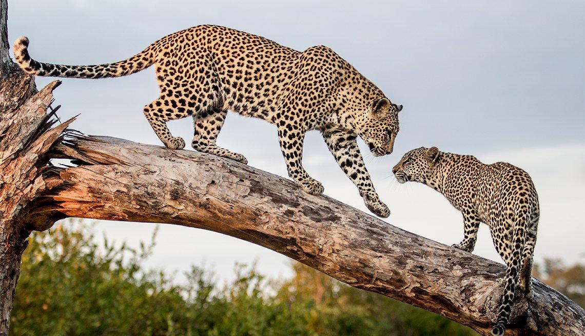 Una madre leopardo, camina por un tronco hasta su cachorro