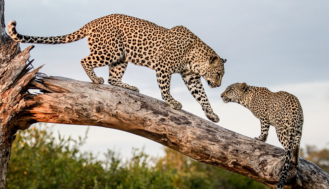 A mother leopard, Panthera pardus, walks down a log to its cub
