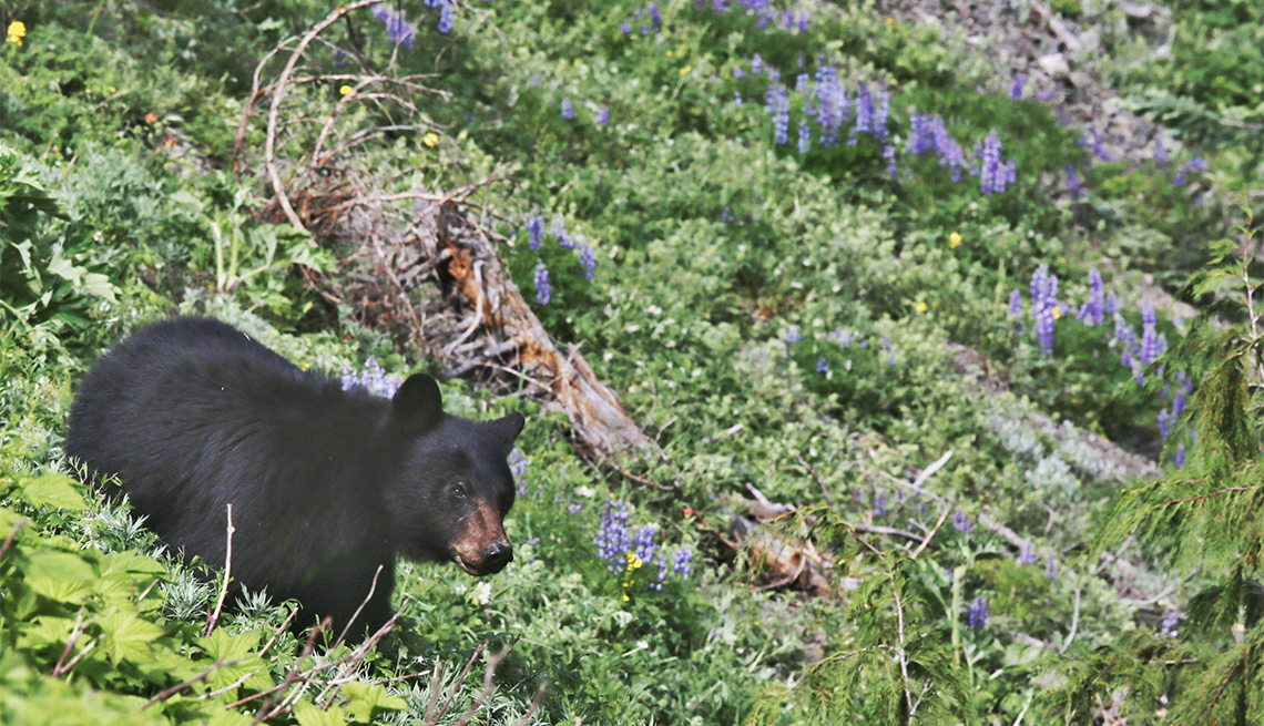 item 1 of Gallery image - Black Bear Cub at Hurrican Ridge, Olympic National Park