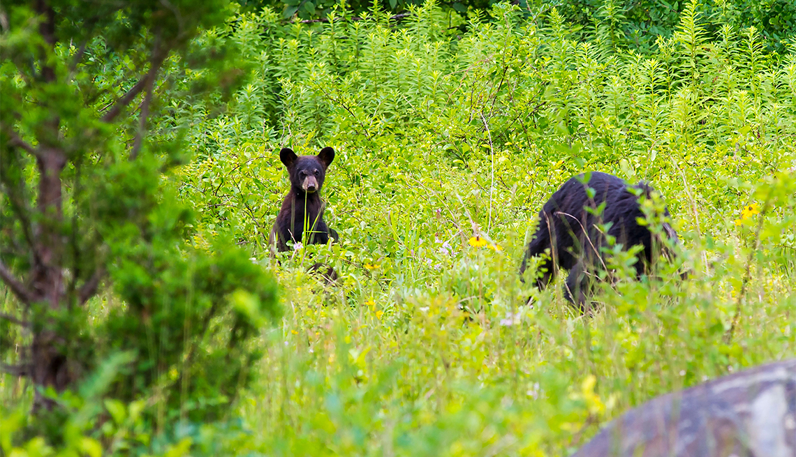 item 2 of Gallery image - A young black bear is seen near its mother in Virginia's Shenandoah National Park near Luray, Virgina