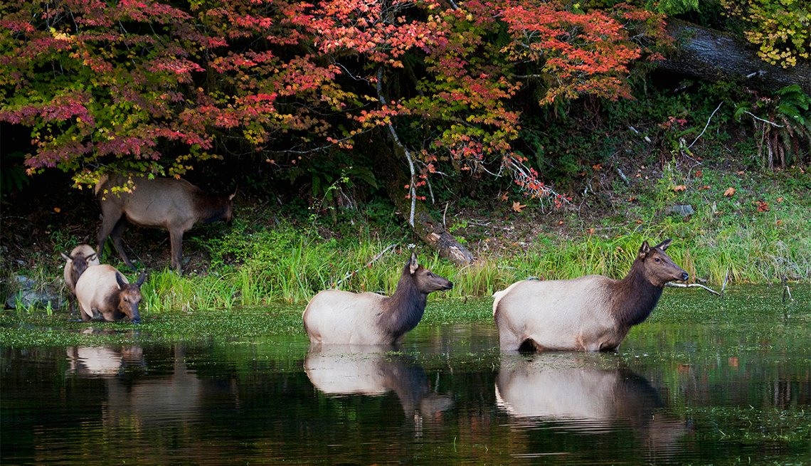 item 4 of Gallery image - herd of Roosevelt elk at Olympic National Park