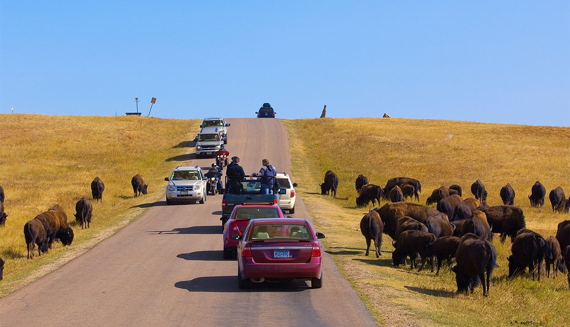 Tourists passing American bison (American buffalo) on the Wildlife Loop Road at Custer State Park