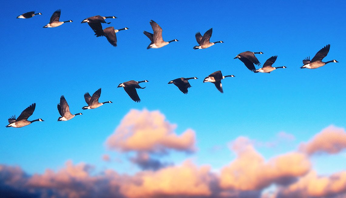 Great jobs for snowbirds Canada Geese Flying
