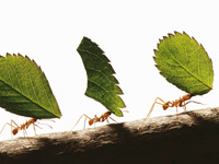 Ants carrying leaves. Odds of a deferred flush retirement.