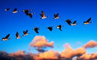Gansos canadienses volando sobre el atardecer