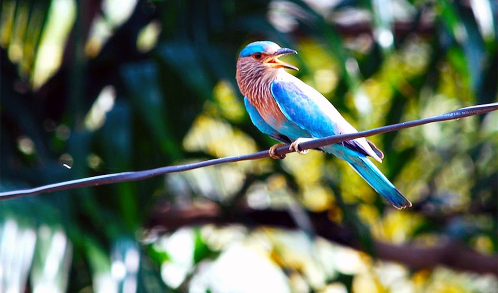 Eastern Bluebird perched on wire