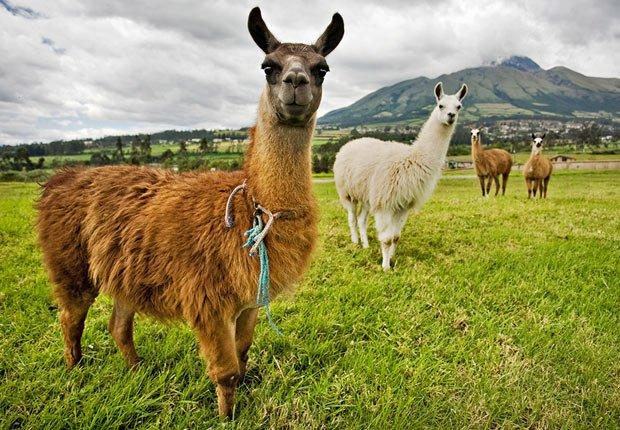 Llamas en Ecuador - 10 Lugares para ir este verano