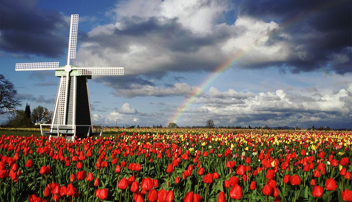 Tulip field in Willamette Valley, Oregon
