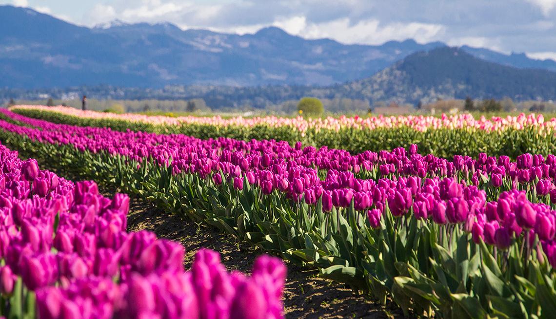 item 2 of Gallery image - Campo con tulipanes florecientes