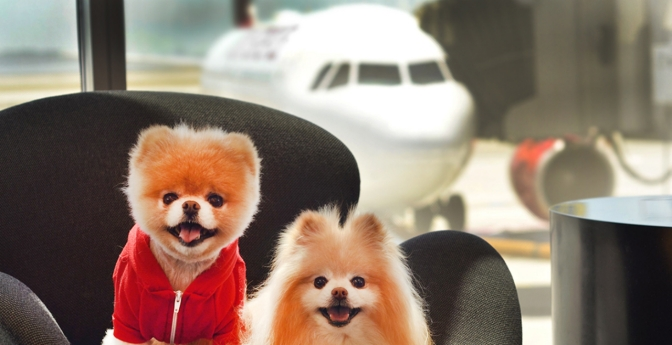 two dogs wait in an airport to board an airplane