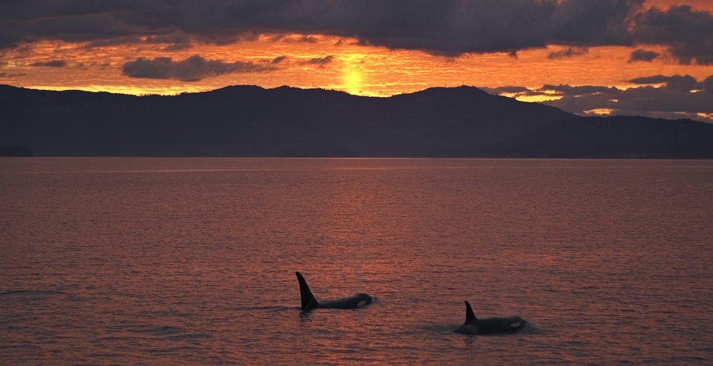 Spot an Orca off the San Juan Islands