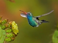 Broad-billed Hummingbird in Arizona, Ten Places to Go This Summer