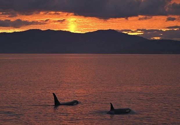 Mira una Orca en las islas San Juan