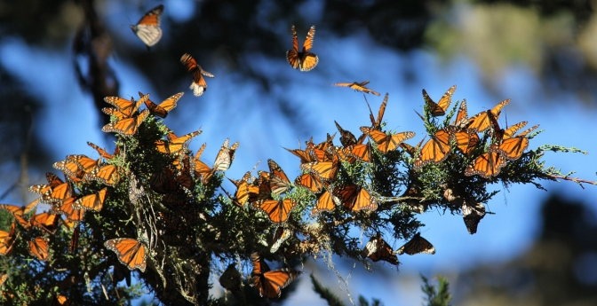Visit Migrating Monarchs in Monterey Bay, California