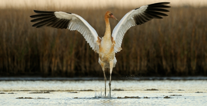 Watch Whooping Cranes on the Gulf Coast