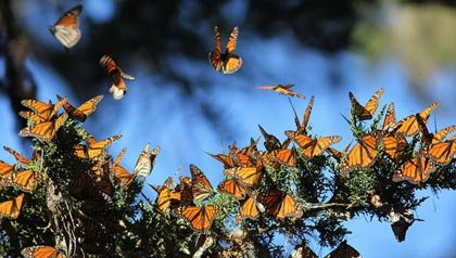Migración de mariposas en Monterey Bay, California - 11 Vacaciones de otoño en las que usted nunca pensó