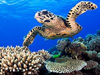 Loggerhead turtle swims at the Great Barrier Reef in Australia, 10 Disappearing Natural Wonders to See Now
